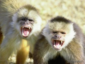 aggressive-monkeys
